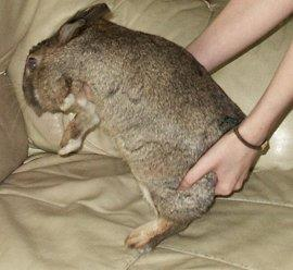 Start picking up a rabbit when you are close to the ground level to prevent them from dropping from heights.