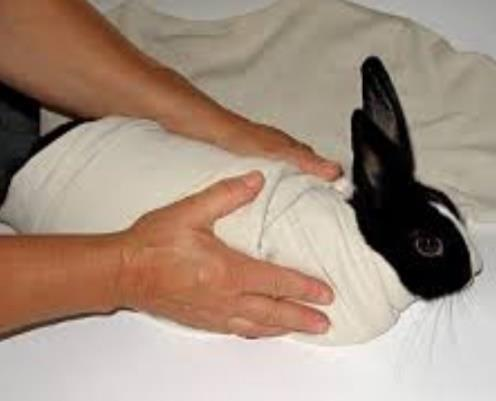 If the rabbit is very difficult to carry but you need to feed medication etc., you can 'burrito' him using a towel or tshirt.